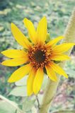 Sun-Blume Lizenzfreies Stockbild