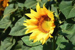 Sun-Blume Stockfotos