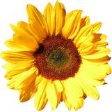 Sun-Blume auf transparentem Hintergrund in der zusätzlichen png-Datei stockbild