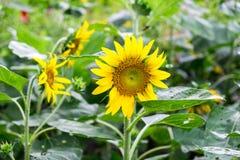 Sun-Blume im Garten Lizenzfreie Stockbilder
