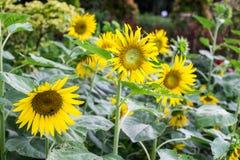 Sun-Blume im Garten Lizenzfreies Stockfoto
