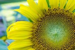 Sun-Blume im Garten Lizenzfreie Stockfotos