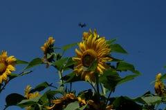 Sun-Blume mit der Biene lizenzfreie stockfotos