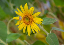Sun-Blume und weißer Schmetterling Stockbild