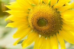Sun-Blume unter Morgenlicht Stockfotografie