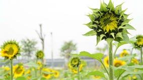 Sun-Blumen öffnen nicht schon sich stock video footage