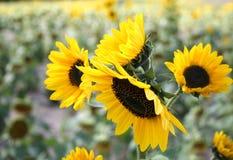 Sun-Blumen Lizenzfreies Stockfoto