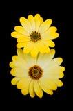 Sun-Blumen Stockfoto