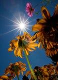 Sun-Blumen Stockbilder