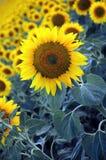 Sun-Blumen Lizenzfreie Stockfotos