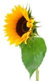 Sun-Blumen-Ansammlung stockfotografie
