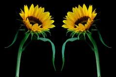 Sun-Blumen-Hintergrund Lizenzfreies Stockbild
