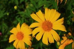 Sun-Blumen im Gelb stockfotografie