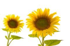 Sun-Blumen lokalisiert auf Weiß. Lizenzfreie Stockfotos
