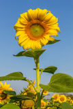 Sun-Blumen mit blauem Himmel Stockfoto