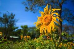 Sun-Blumenaufenthalt allein mit blauem Himmel Stockbild