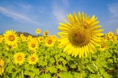 Sun-Blumenfeld Lizenzfreie Stockbilder