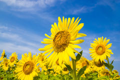Sun-Blumenfeld Stockfoto