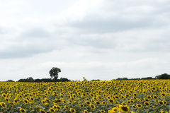 Sun-Blumenfeld gegen einen blauen Himmel Lizenzfreies Stockfoto
