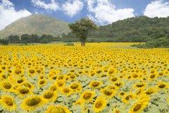 Sun-Blumenfeld gegen einen blauen Himmel Stockbild