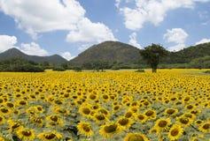 Sun-Blumenfeld gegen einen blauen Himmel Stockfotos