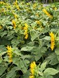 Sun-Blumenfelder im Garten Stockbilder