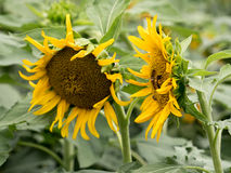 Sun-Blumenfelder im Garten Stockfotos