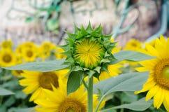 Sun-Blumengarten Stockfoto