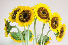 Sun-Blumenhintergründe Stockfoto