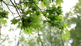 Sun branch green wind. Tree`s leaves sway in the wind as the sun sparkles through stock footage