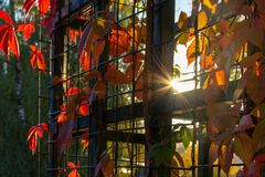 The sun is breaking through the bars of pergola overgrown with colorful autumn maiden grapes royalty free stock images