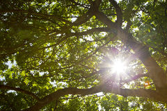 Sun breaking through the leaves of a tree Royalty Free Stock Image