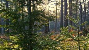 Sun breaking through spruce and birch trees. Dolly, slider stock video