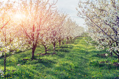 The sun breaks through the branches blossom trees. Royalty Free Stock Photography