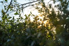 Sun breaks through a bushes at sunset. Light-rays stock photography