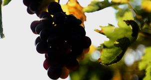 The sun breaks through the cluster of ripe grapes. In the autumn.close up shot.4K stock video footage
