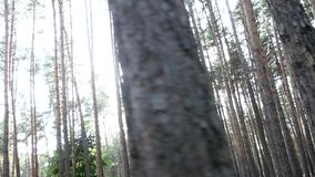 Sun breaks through the pine forest. Pine forest, cloudy weather in the woods, the gloomy sky, forest cones, forest clearing, forest, pine trees, pine trees stock footage