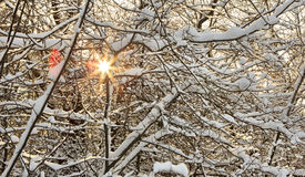 Sun breaks through the snow covered tree branches Royalty Free Stock Images