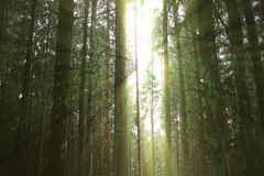 The sun breaks through the thicket. Bright rays of the sun pass through the green forest stock image