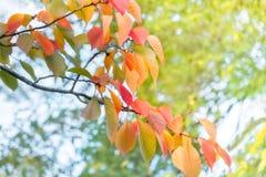 Sun brilla a través de las hojas de otoño coloridas en el parque de Maruyama en Kyoto imagen de archivo libre de regalías