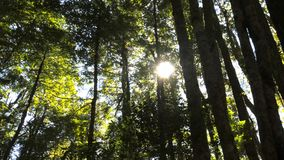 Sun brilla a través del toldo de los árboles de haya templados de la selva tropical almacen de video