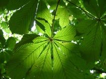 Sun brillant par des feuilles Image stock