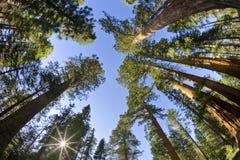 Sun brillant par des séquoias image stock