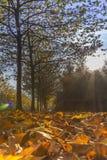 Sun brillant par l'allée d'érable Images libres de droits