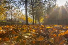 Sun brillant par l'allée d'érable Photo libre de droits