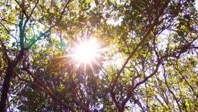 Sun brillant par la forêt de palétuvier banque de vidéos