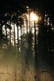 Sun brillant par le bois de pin Photographie stock libre de droits