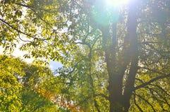 Sun brillant par les feuilles d'un arbre Photos libres de droits