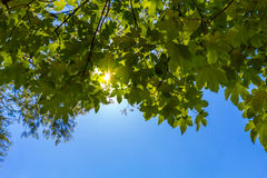 Sun brillant par les feuilles vertes Photos stock