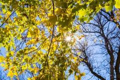 Sun brillant par un arbre d'érable en automne images stock